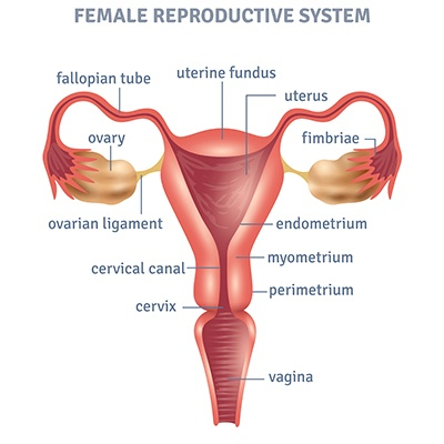 Anatomy of Vagina - gynecology specialist doctor chennai - dr deepa ganesh